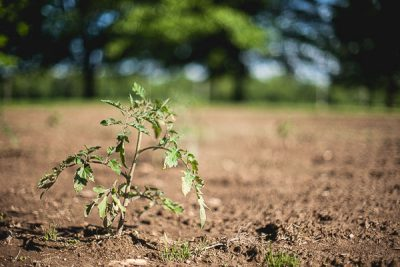 Free Stock Photos for Blogs - Tomato Plant in the Garden