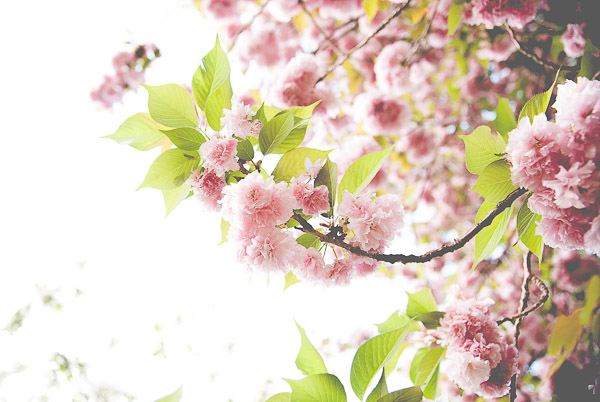 Free Stock Photos for Blogs - Pink Spring Tree Blossoms 1