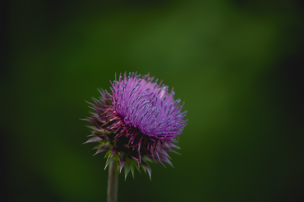 Free Stock Photos for Blogs - Thistle Flower 1