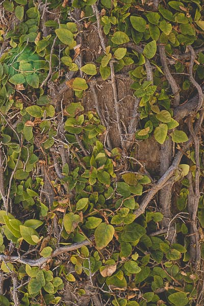 Free Stock Photos for Blogs - Wall of Ivy 1