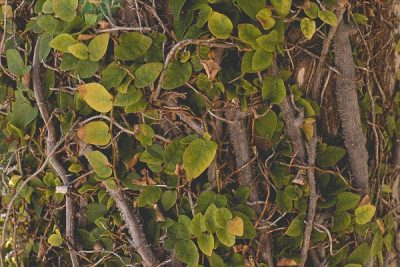 Free Stock Photos for Blogs - Wall of Ivy