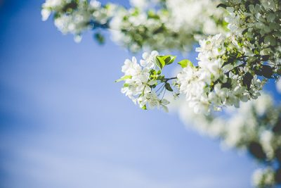Free Stock Photos for Blogs - White Spring Tree Blossoms 1