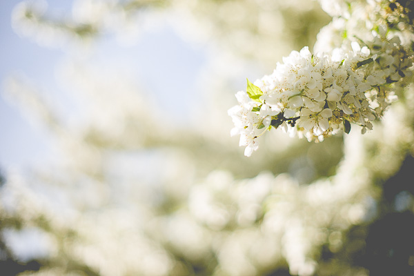 Free Stock Photos for Blogs - White Spring Tree Blossoms 2