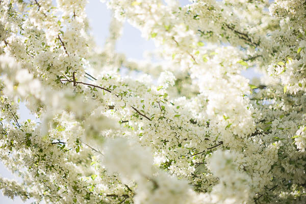 Free Stock Photos for Blogs - White Spring Tree Blossoms 3