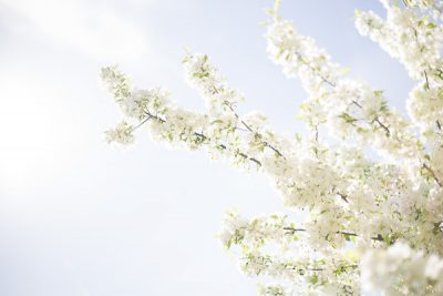 Free Stock Photos for Blogs - White Spring Tree Blossoms 4