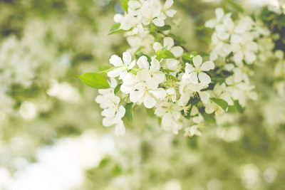Free Stock Photos for Blogs - White Spring Tree Blossoms 5