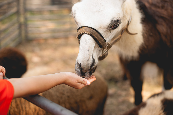 Free Stock Photos for Blogs - Child Feeding a Llama 1