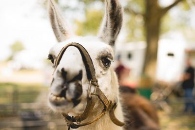 Free Stock Photos for Blogs - Llama at the Petting Zoo