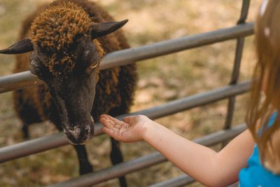 Free Stock Photos for Blogs - Child Feeding a Sheep 2