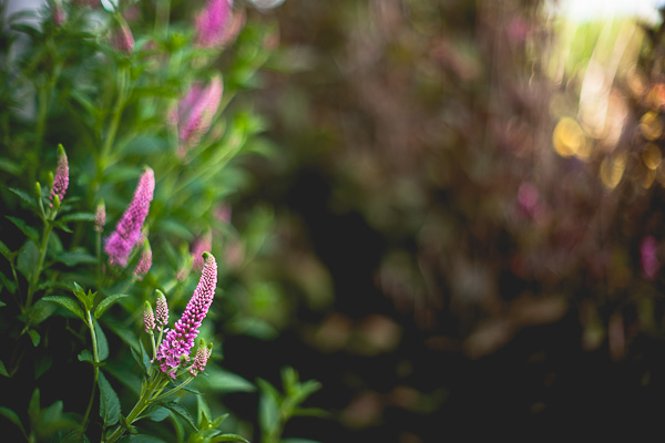 Free Stock Photos for Blogs - Pink Flowers in the Garden 1