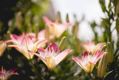Free Stock Photos for Blogs - Pink Lilies 1