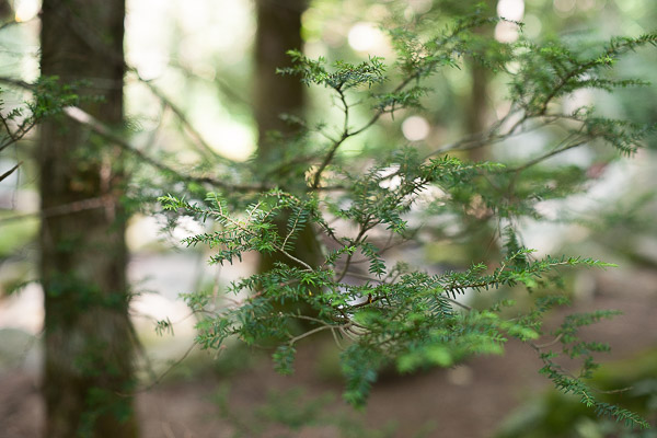 Free Stock Photos for Blogs - Evergreen Tree Branch 1
