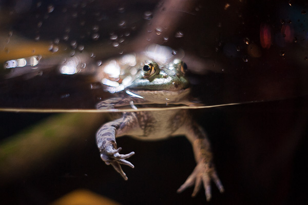 Free Stock Photos for Blogs - Frog at the Aquarium 2
