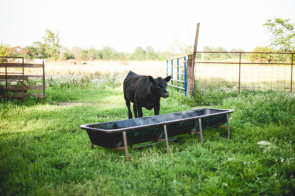 Free Stock Photos for Blogs - Cow at Feeding Time 1
