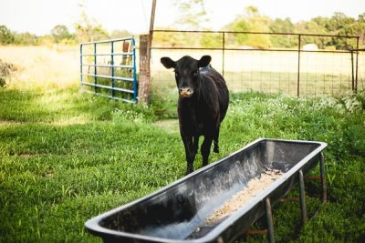 Free Stock Photos for Blogs - Cow at Feeding Time 4