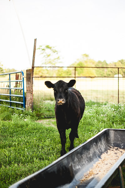 Free Stock Photos for Blogs - Cow at Feeding Time 5
