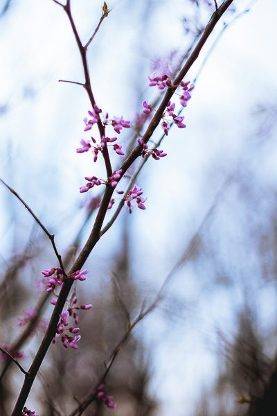 Free Stock Photos for Blogs -Pink Spring Tree Blossoms 1