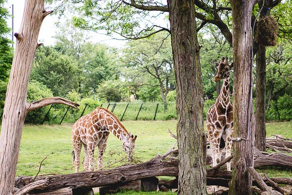 Free Stock Photos for Blogs - Giraffes at the Zoo 1