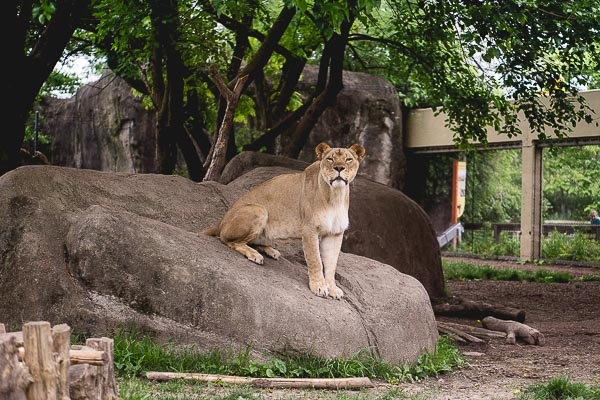 Free Stock Photos for Blogs - Tiger at the Zoo 1