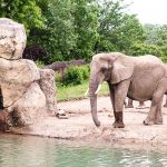 Free Stock Photos for Blogs - Elephant at the Zoo 1